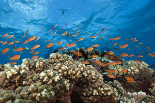 Juwelen-Fahnenbarsche am Riff, Fidschi