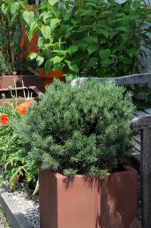 Pinus mugo var. pumilio, Zwergkiefer