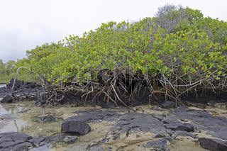 Rote Mangrove (Rhizophora mangle) ,  Insel Isabela,  Galapagos ,