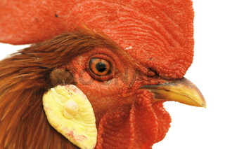 closeup of a colorful rooster eye isolated over white