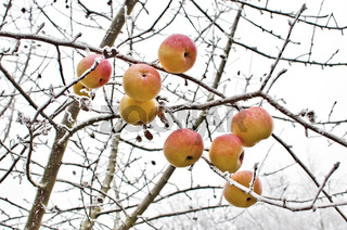 Äpfel auf vereistem Baum