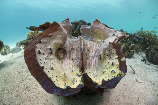 Grosse Moerdermuscheln