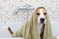 Beagle Dog Sitting in Bathtub Waiting to be Dried