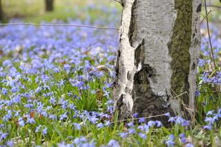 Scilla Blumen.Scilla flowers.