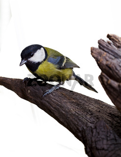 Great Tit, Parus Major 2