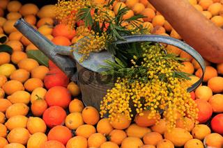 Gießkanne mit blühenden Mimosenzweigen