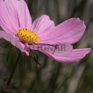 Schmuckkörbchen Blüte