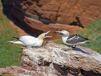 Close-up of two northern gannets (Morus Bassanus) on the deep-sea island of Helgoland, Germany