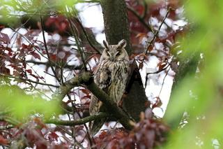 long-eared owl (Asio otus) sitting in tree,Germany