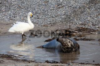 Singschwan mit Kegelrobbe Helgoland