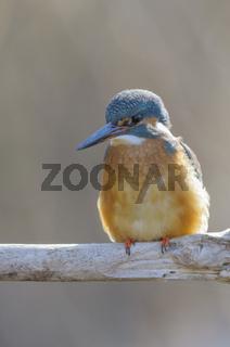 Eisvogel ,Alcedo atthis, common kingfisher