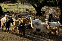 Herd of goats on the island of Kefalonia