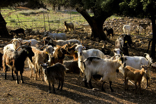 Ziegenherde auf der Insel Kefalonia