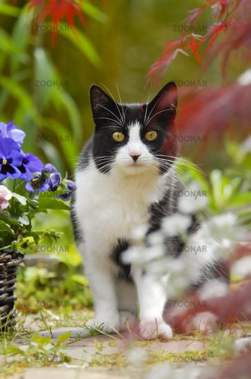 Bicolor cat, black white, in a flowering garden