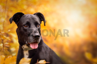 Hund, Labrador-Mix schwarz Portrait im herbstlichen Wald