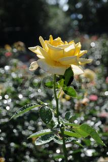 Rosa Berolina, Edelrose, Hybrid-Rose