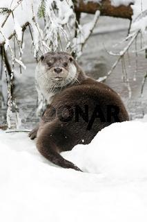Europäischer Fischotter (Lutra lutra) im Winter