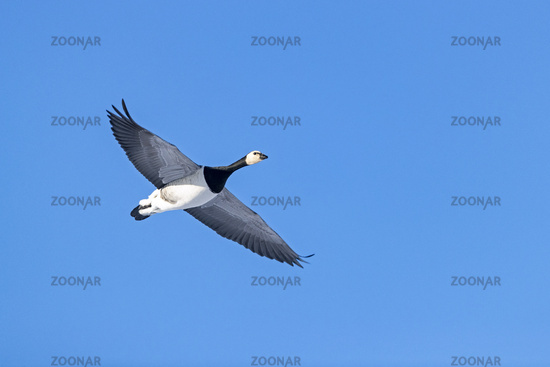 Close-up of a Barnacle Goose in flight