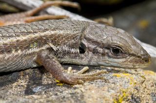 large psammodromus (psammodromus algirus) lizard