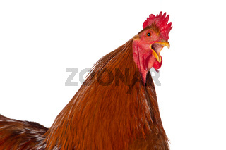 New hampshire cock on white background