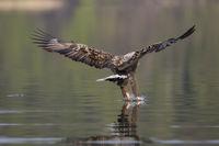 Seeadler, Haliaeetus albicilla, white-tailed eagle