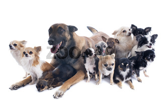 malinois and chihuahuas