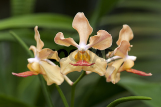 Tropische Orchidee Dendrobium spec.