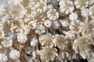 Plapper-Pumpkoralle, Soft Coral, Heteroxenia fuscescens
