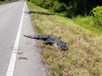 Dead alligator on country road