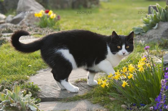 Cat, black white, in a garden among spring flowers