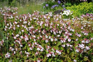 Geranium cantabrigiense Biokovo, Cambridge-Storchschnabel, Cambridge Cranesbill