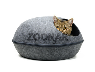 young gray cat Scottish chinchilla erect sits in an oval gray felt house on a white background