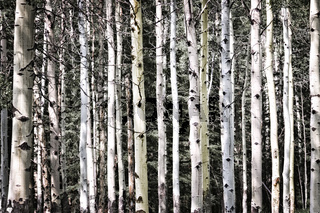 Aspen tree trunks