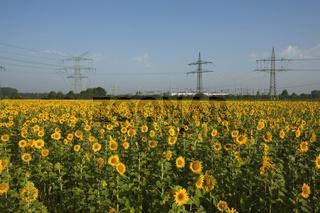 Sonnenblumenfeld mit Hochspannungsmasten