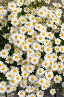White Matricaria flowers on the meadow.