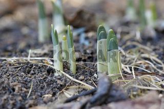 Kleines Schneeglöckchen, Galanthus nivalis