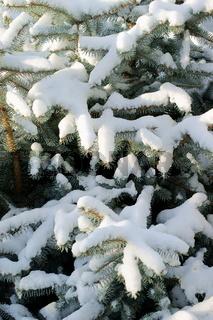 Tannenbaum, schneebedeckt