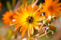 Bee on blooming flowers of sunflower aster family