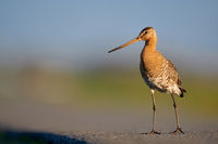 Black-tailed godwit on the street