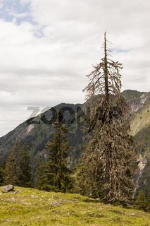 Abgestorbene Kiefer in den Alpen