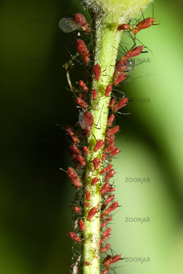 Aphids on a Stem