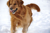 Golden retriever in the snow. Happy dog.