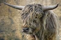 highland cattle bull