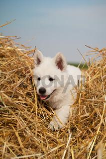 Weißer Schäferhund Welpe im Stroh