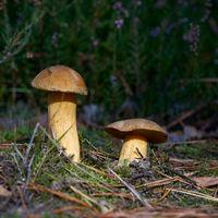 velvet bolete (Suillus variegatus) on the forest floor in autumn