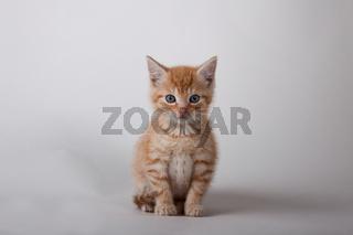 Sitzendes rot getigertes Katzenbaby
