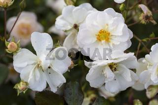 Rose 'Schneekönigin' (Rosa)