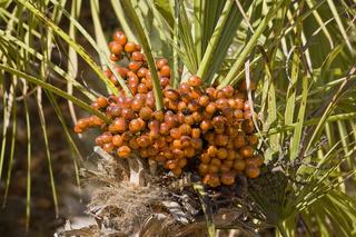 Dattelpalme (Phoenix canariensis), Mallorca,Spanien