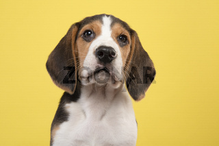 Portrait of a cute beagle puppy looking at the camera on a yellow background