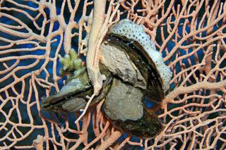 Rotmeer-Flügelauster, Red Sea Winged Oyster, Pteria aegyptiaca